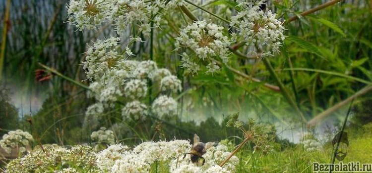 Вех ядовитый (цикута) очень ядовитое растение