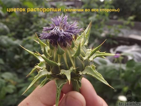 цветок расторопши колючий