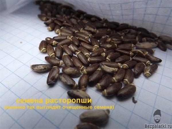 семена расторопши пятнистой