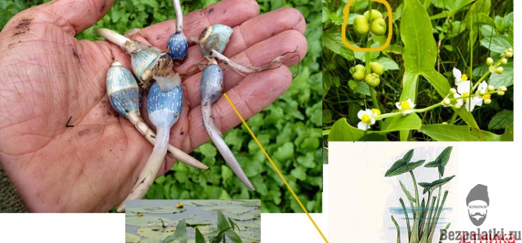Дикорастущие Съедобные  водные растения
