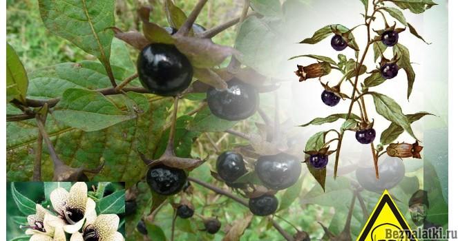 Ядовитые лесные ягоды