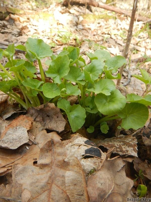 в листьях чистяка мого витамина С