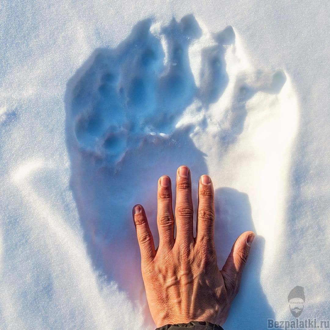след белого медведя